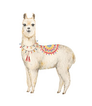 Watercolor Hand Drawn Vector Card Llama Or Alpaca.