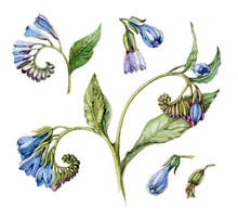 Watercolor Vintage Blue Comfrey Flower Illustration Set. Hand Drawn Symphytum, Medical Herb, Flowers And Leaves. Isolated On White Background.