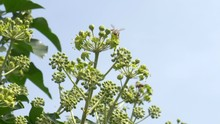 Busy Honey Bees Flying Around English Ivy Bush, Pollinating, Slow Motion