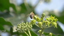 Soft Focus Honey Bee Pollinating English Ivy (Hedera Helix) Flower Buds