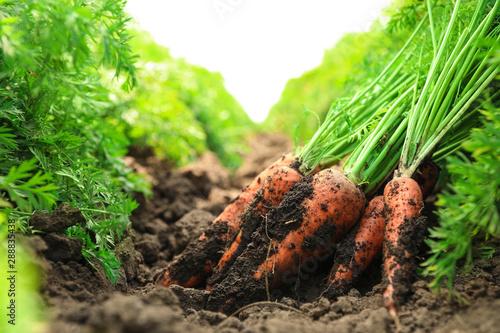 Leinwand Poster Pile of fresh ripe carrots on field. Organic farming