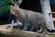 Wildkatze (Felis Silvestris) Auf Baumstamm