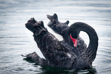 Wild Black Swan Preening Its Feathers With Its Head Bent Backwards In Western Spring Park Auckland