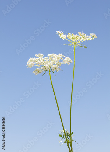 Obraz na plátně  Daucus carota two flowers