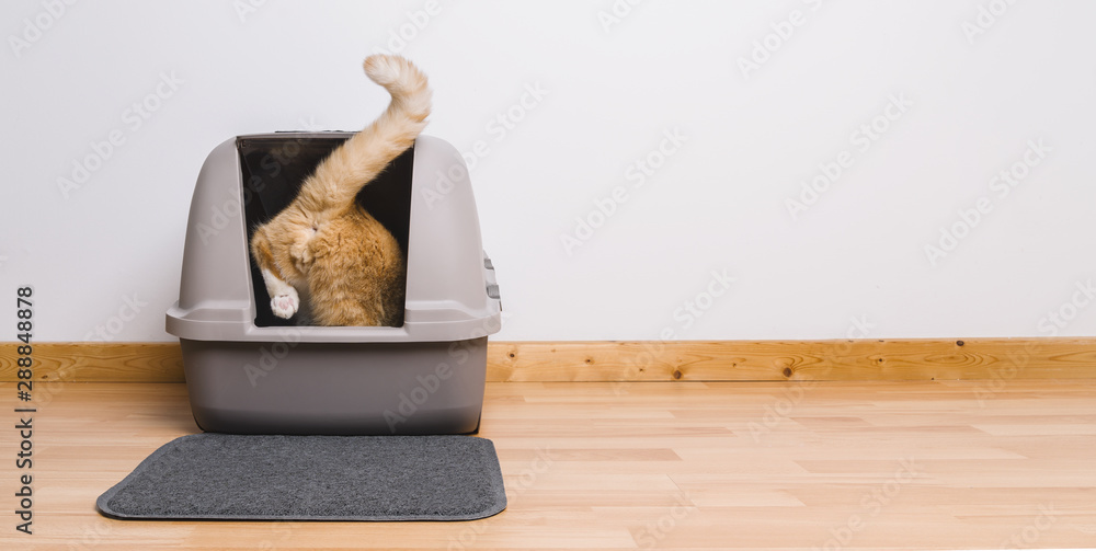 Fototapety, obrazy: Tabby cat step inside a litter box and poops or pee, banner size, copyspace for your individual text.