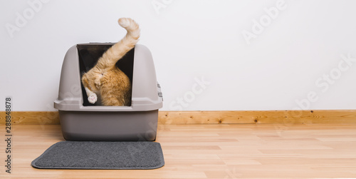 In de dag Kat Tabby cat step inside a litter box and poops or pee, banner size, copyspace for your individual text.