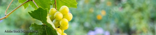 Carta da parati banner of Bunches of white grapes hanging in vineyard against at green and yello