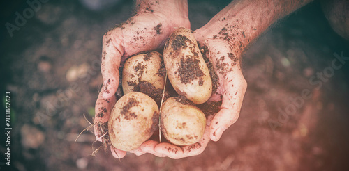 Cropped image of gardener holding dirty potatoes