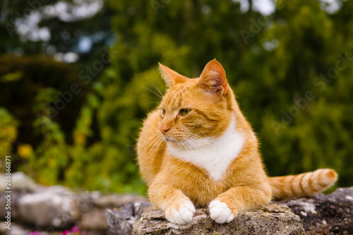 Canvas Print Nice portrait of a ginger or orange marmalade tabby cat enjoying some peace and