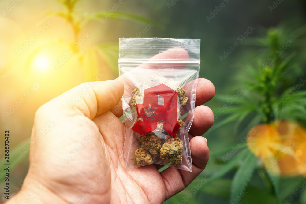 Leinwandbild Motiv - rcfotostock : Hand showing Cannabis buds in a plastic bag with drugstore sign. Concept of herbal alternative medicine, cbd oil, pharmaceutical industry or illegal drug use