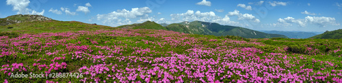 Blossoming slopes (rhododendron flowers ) of Carpathian mountains Wallpaper Mural