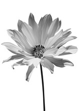 Beautiful Black Flower Isolate...