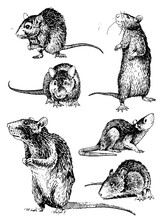 Graphical Set Of Rats Isolated On White,vector Illustration,rodent