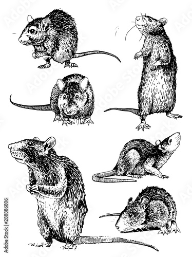 Fotografía Graphical set of rats isolated on white,vector illustration,rodent