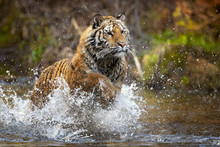 Siberian Tiger Is A Panthera Tigris Tigris Population In The Russian Far East And Northeast China And Possibly North Korea