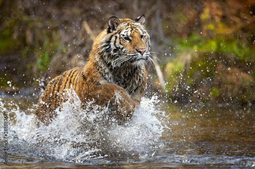 Foto op Aluminium Tijger Siberian tiger is a Panthera tigris tigris population in the Russian Far East and Northeast China and possibly North Korea