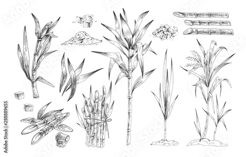 Sugar canes hand drawn vector illustrations set Fototapeta