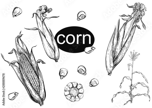 Obraz Detailed hand drawn ink black and white illustration set of of corn, grain, stalk, leaf. sketch. Vector. - fototapety do salonu