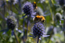 A Large Bumblebee Sits On A Blue Flower