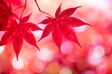 Red Maple Leaves In Autumn Sea...
