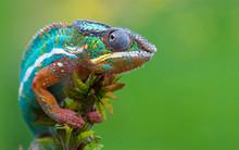 Chameleon Madagascar Reptile L...