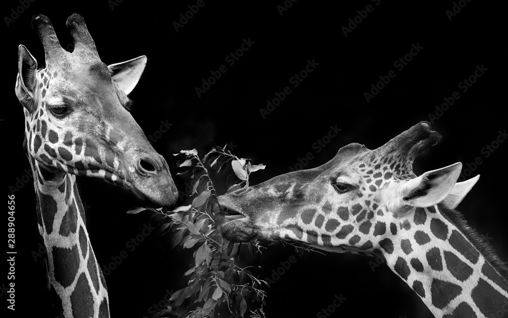Fototapeta giraffes portrait in black and white