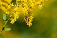 Honeybee On Goldenrod Flowers ...