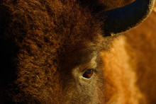 Close-up Of American Bison Eye