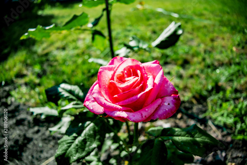 Bewitching pink rose on a background of green leaves. Background with flowers.