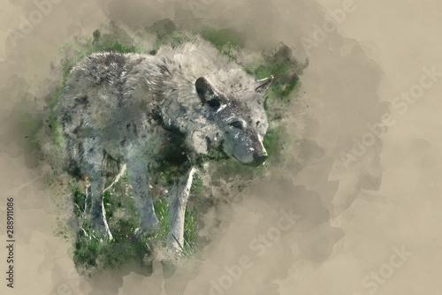 Digital watercolor painting of Beautiful Timber Wolf Cnis Lupus stalking and eat Fototapeta