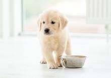 Retriever Puppy Sits Near Bowl