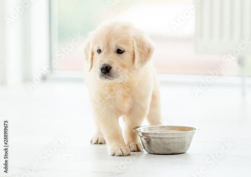 Obraz Retriever puppy sits near bowl - fototapety do salonu