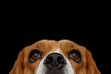 Closeup Portrait Of Beagle Dog...