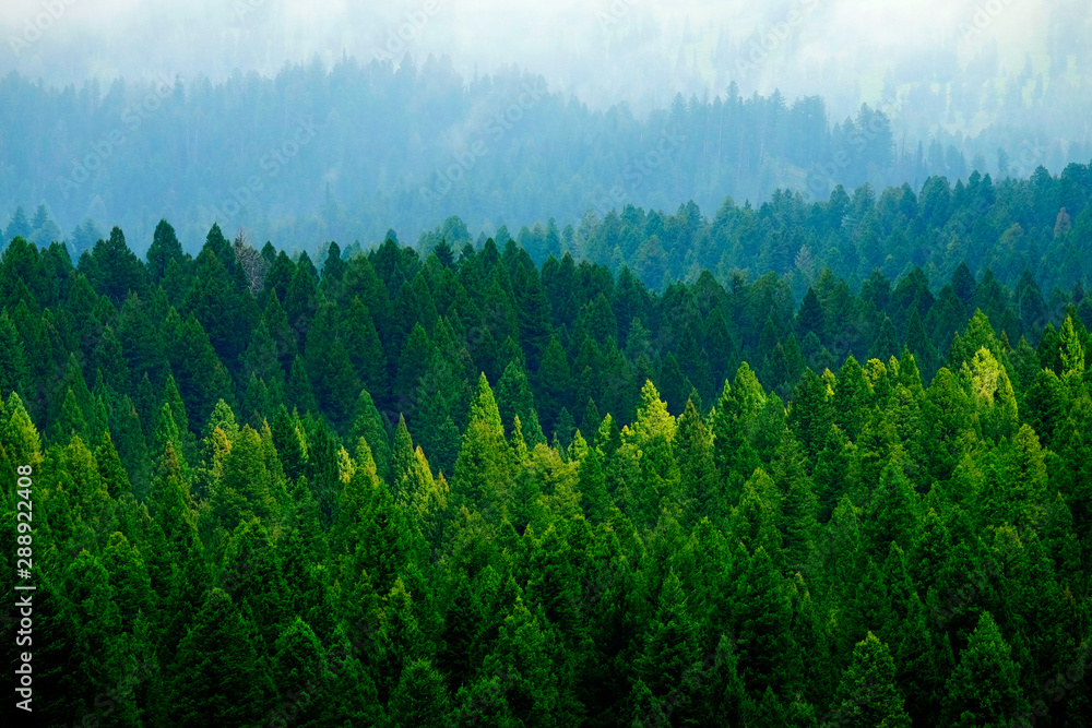 Fototapety, obrazy: Stormy Forest in Mountains Clouds and Fog Weather
