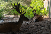 Silhouette Of Two Majestic Powerful Young Red Deer Stag Resting In Nature