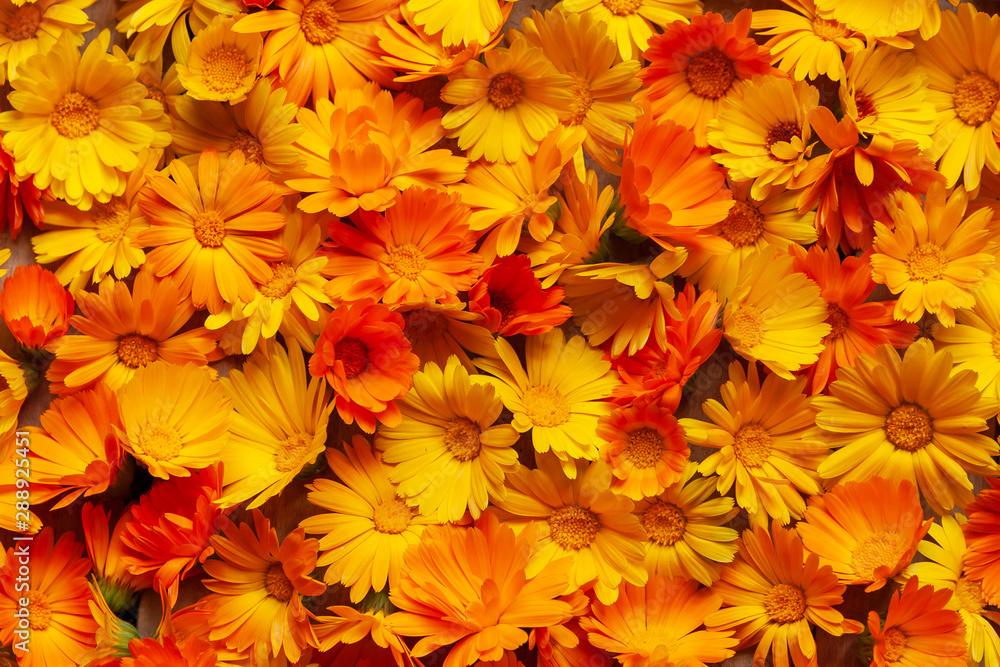 Fototapety, obrazy: Calendula is a joyful flower. Yellow and orange calendula flowers as a background.