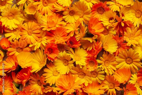 Fotomural  Calendula is a joyful flower