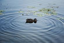 Mallard Duck Diving For Food, ...