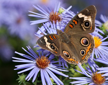 Common Buckeye Butterfly (Juno...