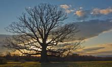 Ancient White Oak (Quercus Alb...