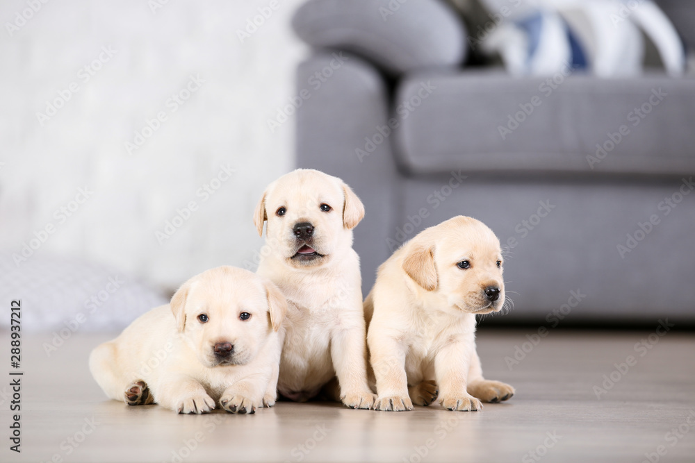 Fototapety, obrazy: Beautiful labrador puppies at home