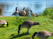 Group Of Canada Geese Feeding ...