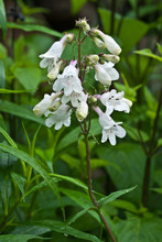 Foxglove Beardtongue (Penstemo...