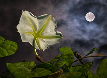 Moon Flower (Ipomoea Alba) With Full Moon (composite). Moon Flowers Bloom At Night And Are Pollinated By Large Moths With Very Long Proboscises, Such As Hawk Moths And Sphinx Moths.