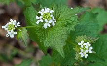Flowers Of Garlic Mustard (Alliaria Petiolata) In Woodland In Central Virginia. One Of The Most Invasive Alien Weeds In North American Forests.
