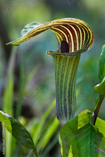 Valokuvatapetti Jack-in-the-pulpit flower (Arisaema triphyllum) backlit by early morning sun