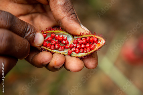 Recess Fitting Zanzibar Man holding open achiote fruit