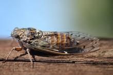 Insecte Cigale Cicada Orni
