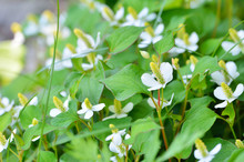 Houttuynia Cordata Flowers In ...