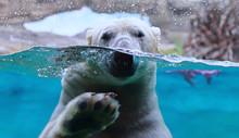 Polar Bear Arctic Animal Wildlife Underwater Ice